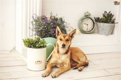 can dogs eat rosemary eight common household herbs and spices that are safe for dogs pets4homes
