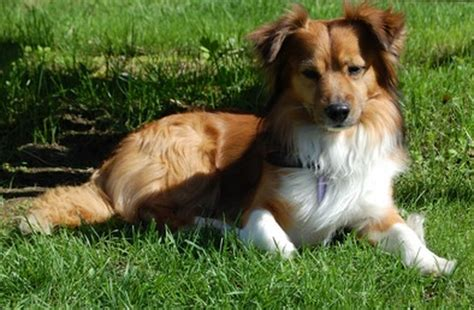 sheltie yorkie mix 19 gorgeous corgi mixes that are almost to be real