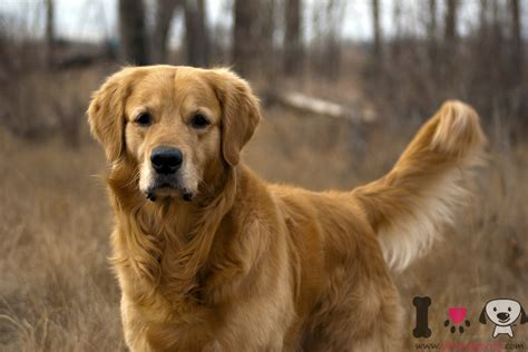 golden retriever louisiana golden retriever informaci 243 n sobre la raza golden retriever