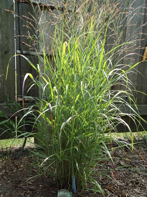 Ornamental Grasses For Planters by Grass Plants Www Pixshark Images Galleries