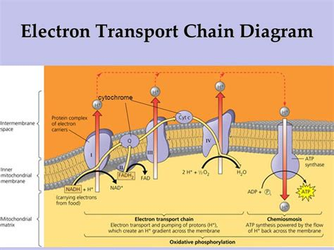 diagram and explain electron transport ib biology 3 7 cell respiration ppt