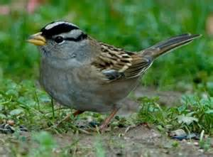 white crowned sparrow audubon society of portland