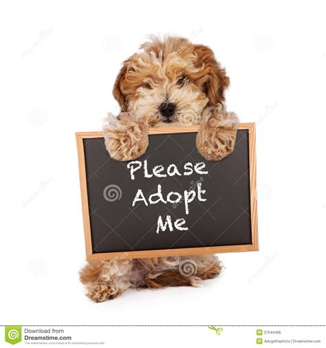 where to adopt a near me havanese crossbreed holding adopt me sign stock photo image 37544496
