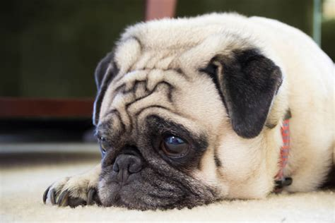 pug with itchy skin giving this to your pug daily could help alleviate skin allergies