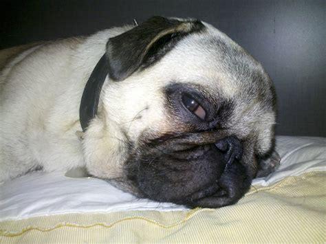 pug sleeping image of pug pucho dogs one animal sleep sleeping free images