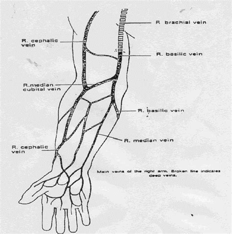 arm veins diagram benbiceherx veins of arm