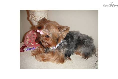 teacup yorkie adults sorry pictures