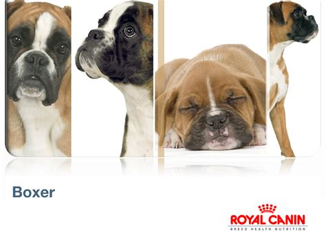 royal canin boxer puppy bowhouse simply the best