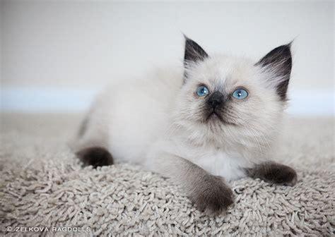 seal point ragdoll kitten by venomxbaby on DeviantArt