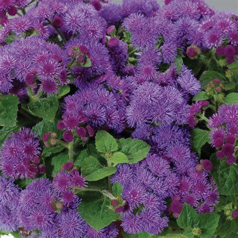 blue artist artist 174 blue flossflower ageratum hybrid proven winners