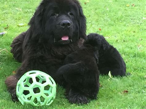 newfoundland puppies colorado kc registered newfoundland puppies swansea swansea pets4homes