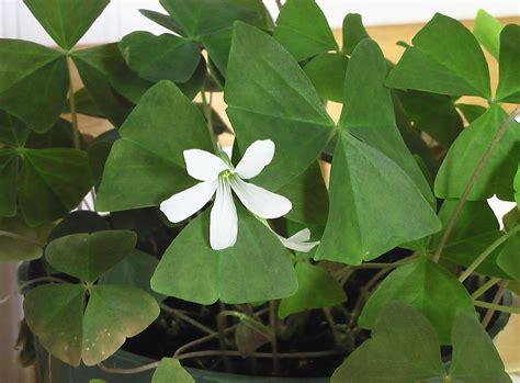 shamrock plant irish recipes pinterest
