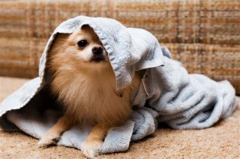 after you get your puppy drying a after a bath
