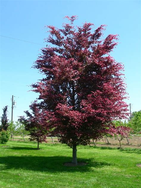 tri colored beech tricolor beech search plants and trees