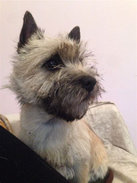 how to cut bangs on cairn terriers 500 best images about cairn terrier 4 on pinterest posts