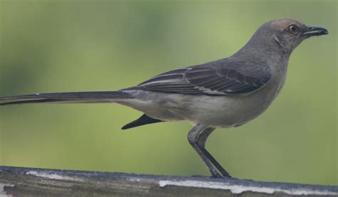1000 images about mockingbirds and doves on pinterest