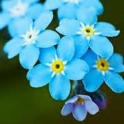 nontiscordardime fiore non ti scordar di me fiori in giardino coltivare non