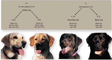 free boxer puppies in michigan michigan golden retriever rescue animals for adoption autos post