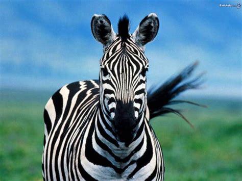 apple zebra wallpaper hd zebra hd desktop wallpapers 4k hd