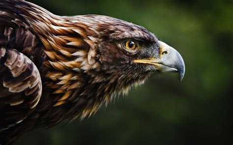 best eagle eagles wallpapers best wallpapers