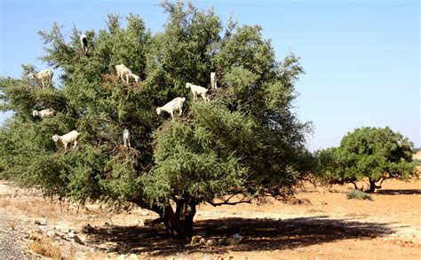 pictures of trees essaouira 1