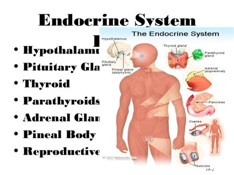 Harmones Ppt Endocrine System Powerpoint Presentation