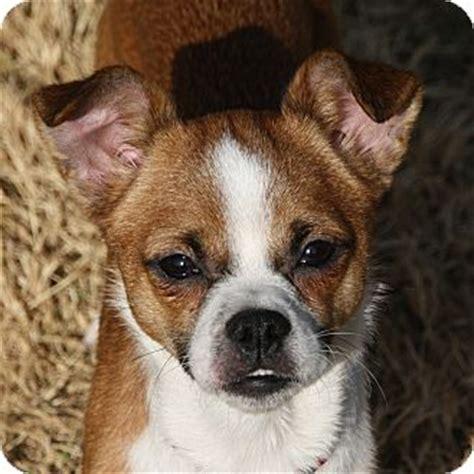 pug breeders edmonton adopted edmonton ab basenji pug mix