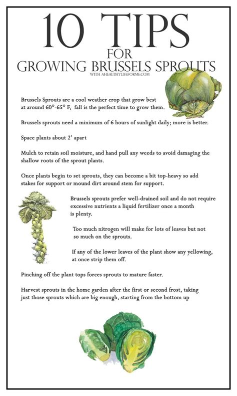 10 Tips On Growing Great Plants This Summer by 10 Tips For Growing Brussels Sprouts A Healthy For Me