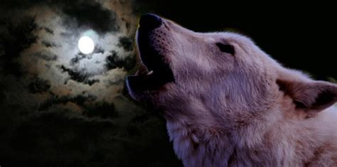 Wolf Howl Mountain Wolves howling against the moon the last wolves of ireland