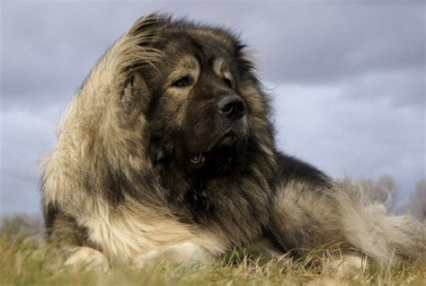 The TRUTH about the Caucasian Mountain Dog! | Euro Puppy