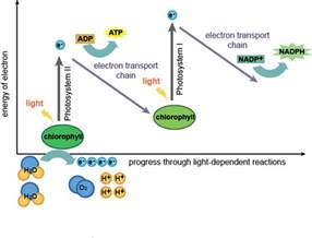 light independent biology the light dependent and light independent