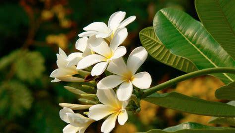 pomelia fiore pomelia archivi