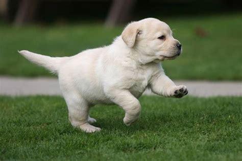 il labrador un da appartamento carattere labrador cani taglia grande guida al