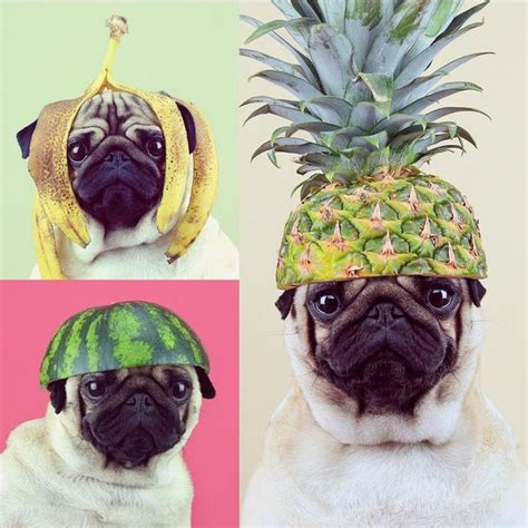 can pugs eat bananas quot call me tutti frutti quot loulou pug wearing banana watermelon and pineapple hats