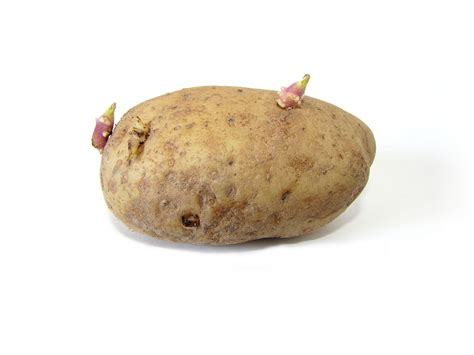 What Is A Potato file potato with sprouts jpg
