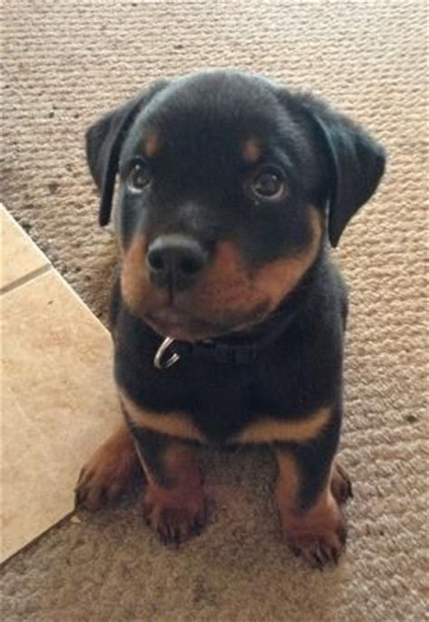 how many puppies can a rottweiler 25 best ideas about rottweiler puppies on baby rottweiler rottweiler