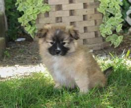 puppies for sale lancaster ca best 20 pomeranian mix ideas on husky pomeranian mix pomsky and pomsky