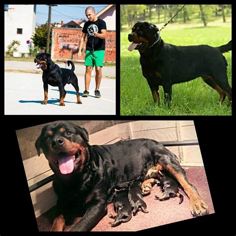 rottweiler rescue indiana best rottweiler breeders in midwest photo