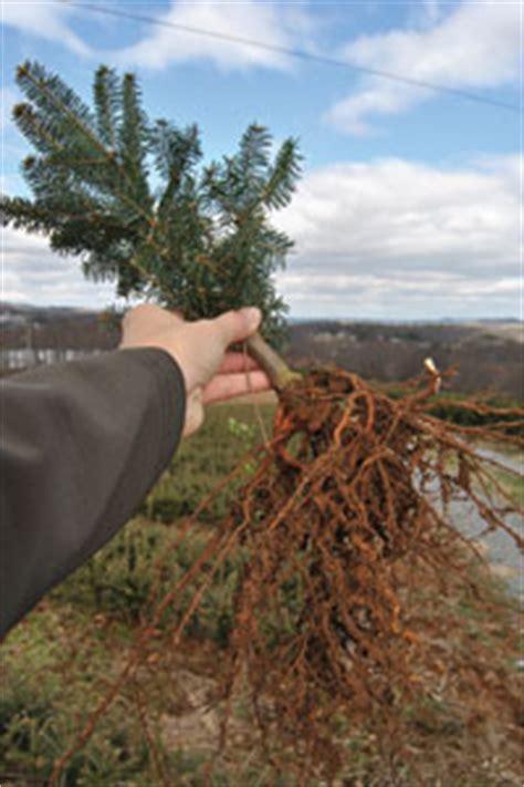 christmas tree transplants christmas tree farms in north