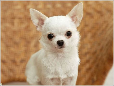 dogs that stay puppies forever small dogs that stay small forever pet photos gallery xnkdpjqkzy