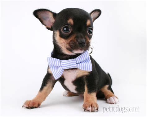 puppy with bow tie teacup blue stripe bow tie collar pet it apparel