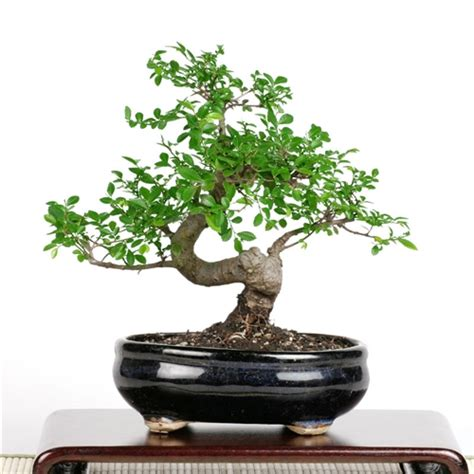 Bonsai Coffee Table Bonsai Chinese Elm Bonsai Tree From Easternleaf Com