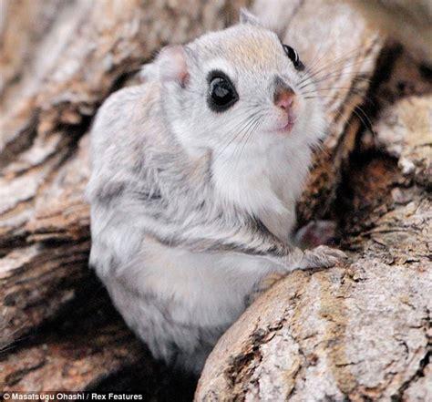 lo scoiattolo volante scoiattolo volante siberiano