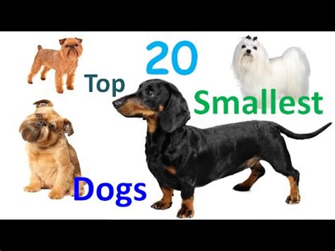 all about the dogs top 20 smallest dogs in the world 20 smallest breeds in all time