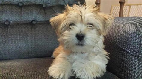 puppy haircuts for yorkie maltese mix maltese yorkie mix hair 8 facts to know before looking