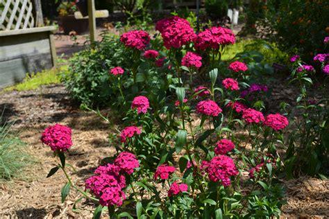 amazon garden drama in the garden with amazon dianthus series