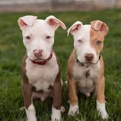 how many puppies do pitbulls les 25 meilleures id 233 es de la cat 233 gorie pitbull sur pitbull am 233 ricain