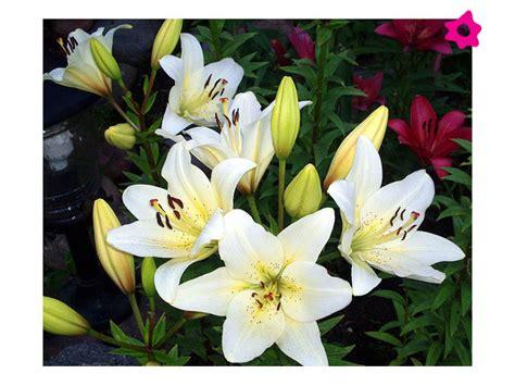 imagenes de lilis blancas floreria junio 2012