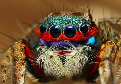 colorful spider colorful jumping spider jumping spider