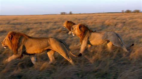 film avec lion critique felins